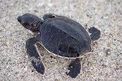 小鱼苗海龟 免版税库存图片