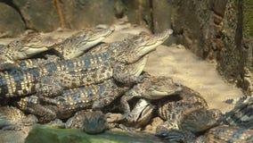 小鳄鱼取暖在阳光下 影视素材