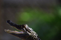 小鳄鱼头画象 免版税图库摄影
