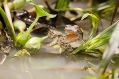 小鳄鱼 免版税图库摄影