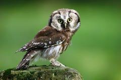 小鸟北方猫头鹰, Aegolius funereus,坐落叶松属石头有清楚的绿色森林背景 库存图片