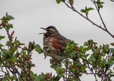 小鸟唱歌在绿色三的,冰岛 免版税图库摄影