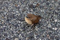 小鸟长尾缝叶鸟 库存图片