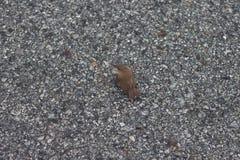 小鸟长尾缝叶鸟 免版税库存照片