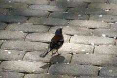 小鸟 在典雅的春天全身羽毛的花鸡 ?? ?? 免版税库存照片