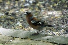 小鸟 在典雅的春天全身羽毛的花鸡 ?? ?? 免版税图库摄影