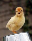 小鸡一点 库存照片