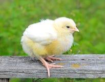 小鸡一点 免版税图库摄影