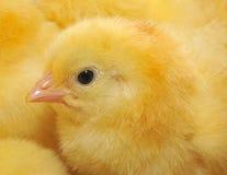 小鸡一点 免版税库存图片