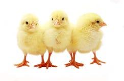 小鸡三 库存图片