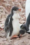 小鸡企鹅 免版税库存照片