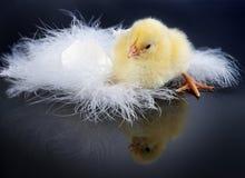 小鸡反射了 图库摄影