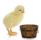 小鸡吃 免版税库存照片