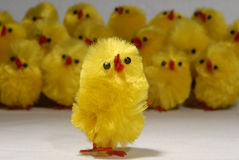 小鸡合唱独奏者 免版税图库摄影