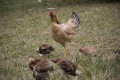 小鸡和母鸡在草地 免版税库存图片