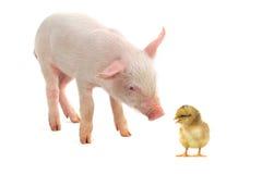 小鸡和猪 免版税库存照片