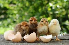 小鸡和蛋壳 免版税库存照片