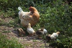 小鸡和鸡 库存图片