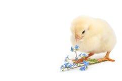 小鸡啄勿忘草花 免版税库存照片