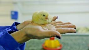 小鸡在手中 影视素材