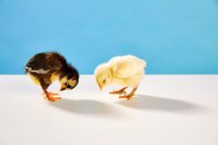 小鸡夫妇黄色和黑在与蓝色的桌上 图库摄影