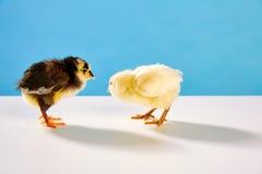 小鸡夫妇黄色和黑在与蓝色的桌上 免版税库存图片