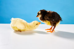 小鸡夫妇黄色和黑在与蓝色的桌上 库存照片