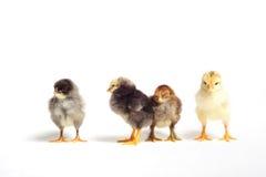 小鸡小组 免版税库存图片
