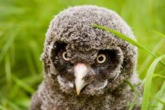 小鸡巨大灰色猫头鹰 免版税库存照片