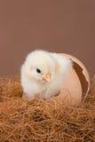 小鸡年轻人 免版税库存照片