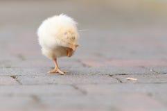 小鸡庭院年轻人 免版税库存照片