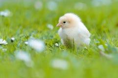 小鸡庭院年轻人 免版税库存图片