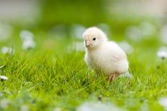 小鸡庭院年轻人 免版税图库摄影