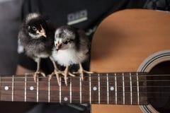 小鸡开掘吉他 免版税库存图片