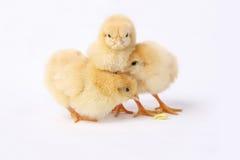 小鸡惊吓了 免版税库存图片