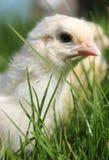 小鸡接近  图库摄影