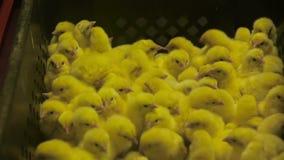 小鸡新出生的黄色 影视素材