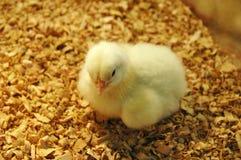 小鸡新出生的黄色 免版税库存图片