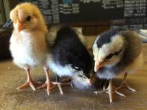 小鸡时间 免版税图库摄影
