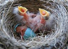 小鸡最近孵化了知更鸟 图库摄影