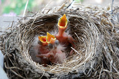 小鸡最近孵化了知更鸟 免版税图库摄影