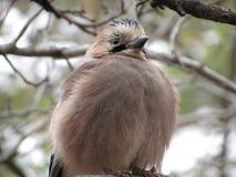 小鸡杰伊长大和骄傲地显示它的全身羽毛 库存图片