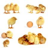 小鸡查出白色 库存照片