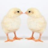 小鸡概念复活节年轻人 图库摄影