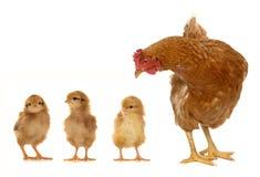 小鸡母鸡 免版税库存图片