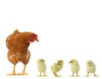 小鸡母鸡 免版税库存照片