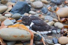 小鸡海鸥坐岩石 库存照片