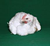 年轻小鸡烤焙用具 免版税库存照片