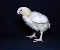 年轻小鸡烤焙用具 免版税库存图片