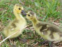 小鸡的滑稽的反应在第一个亲吻的 库存图片